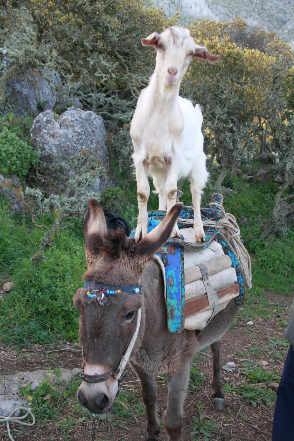 Goat riding on donkey