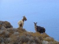 Goats on Amorgos