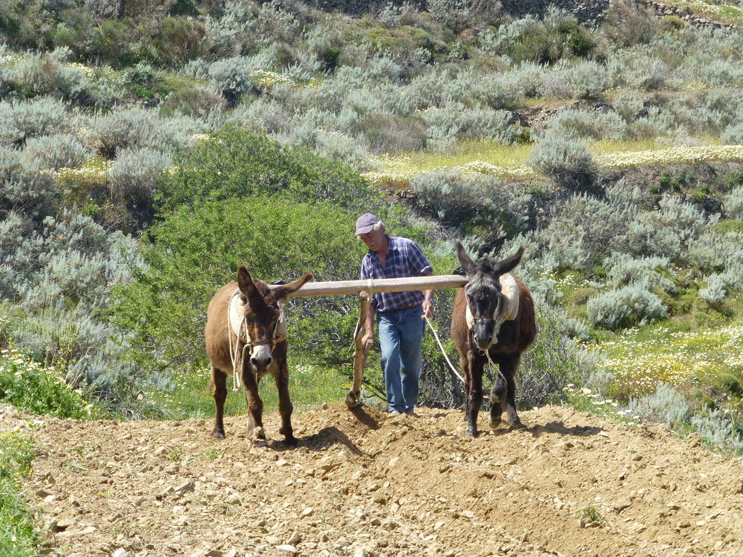 Farmer in Tholaria plows the fields